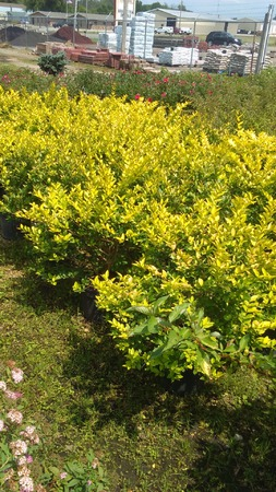 Gold Vicary Privet