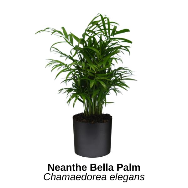https://0201.nccdn.net/1_2/000/000/15b/44f/neanthe-bella-palm.png