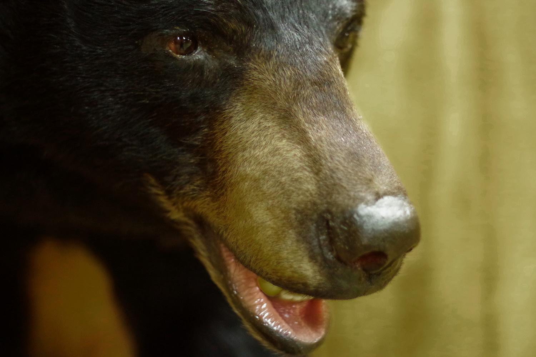 Black bear pant, eye detail