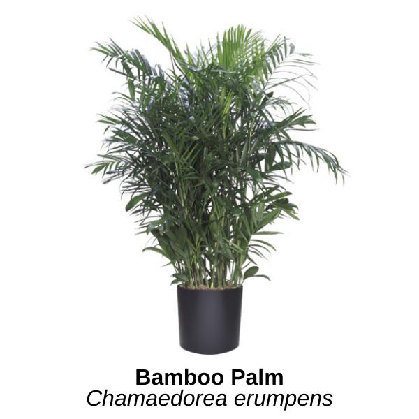 https://0201.nccdn.net/1_2/000/000/15c/422/bamboo-palm--14-.png