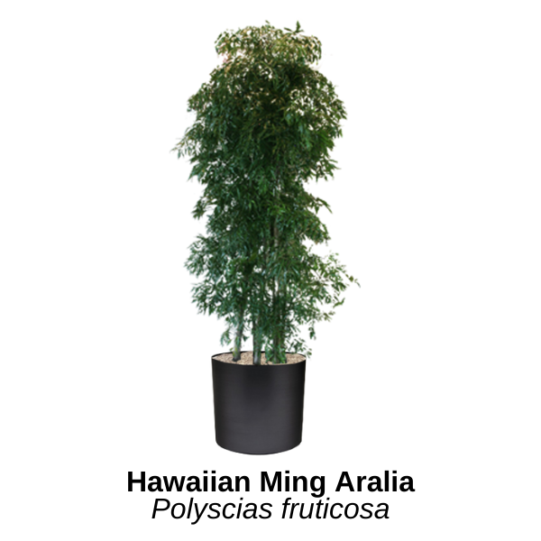 https://0201.nccdn.net/1_2/000/000/15d/372/hawaiian-ming-aralia.png
