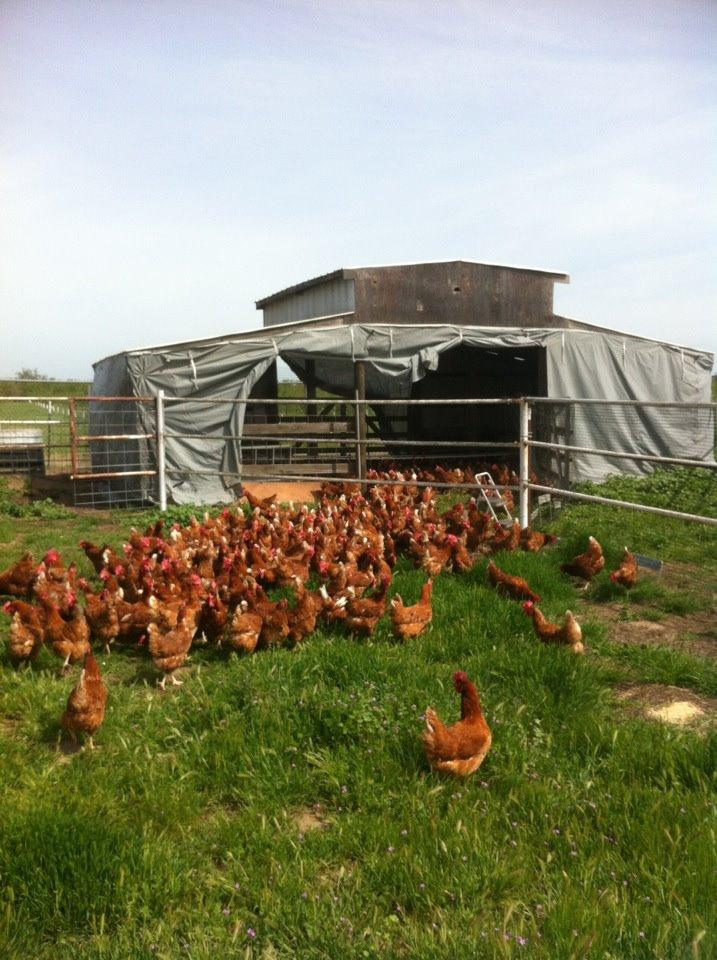 Brood of Chicks