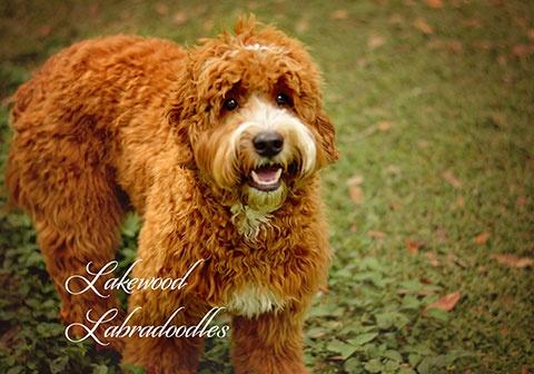 Sampson Labradoodle
