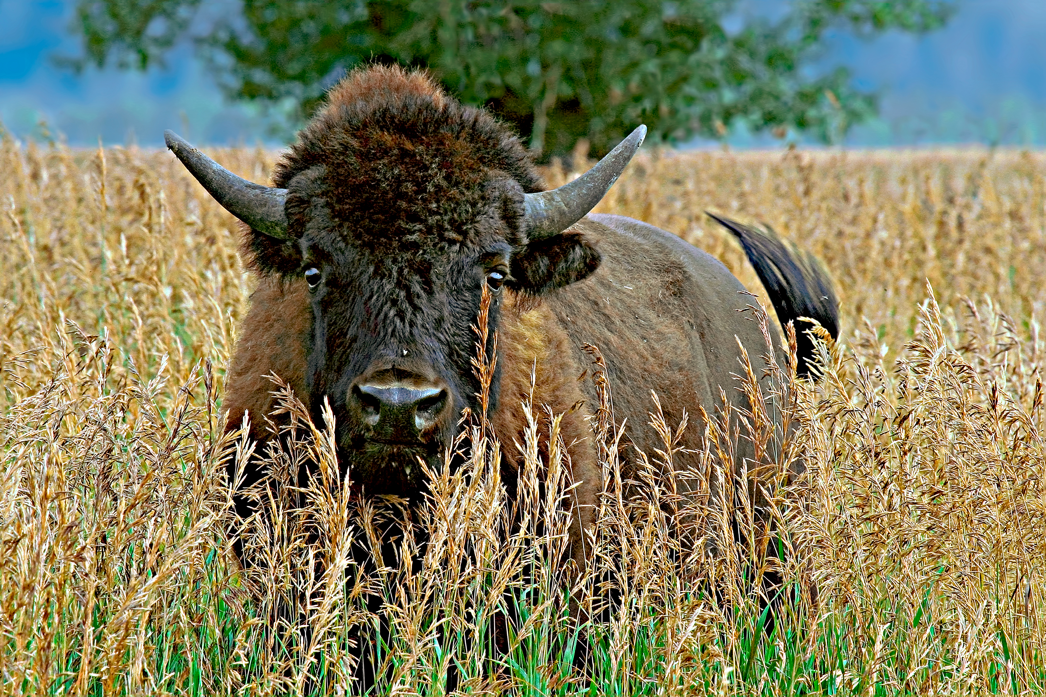 WHERE BUFFALO ROAM - We were in Wyoming when this fella crossed the road about 50 yards ahead of us. I stopped and got out of my car. He didn't take his eyes off me. If I took a step, he took a step back. We watched each other about half a minute before he turned and ran.