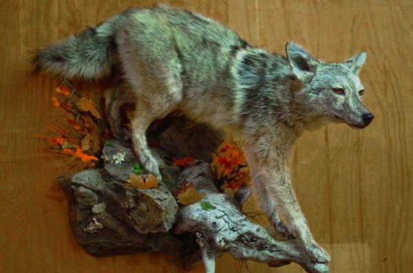 coyote-walking-down-custom-wall-base