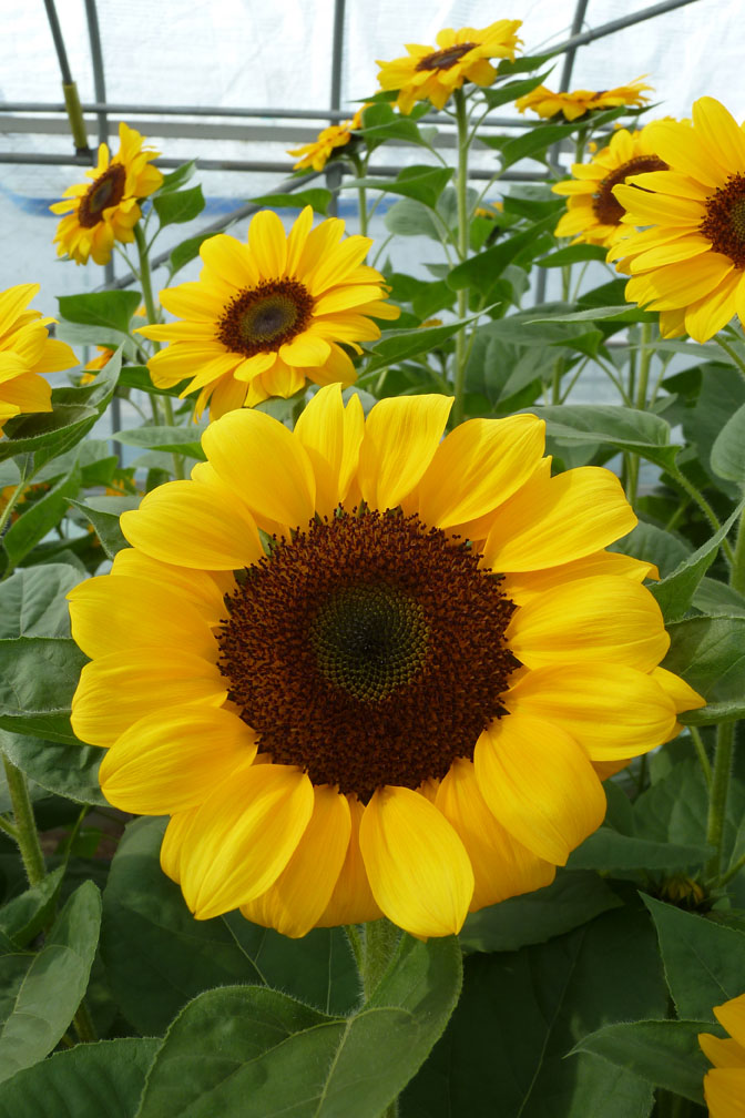 Helianthus Vincent's Choice F1