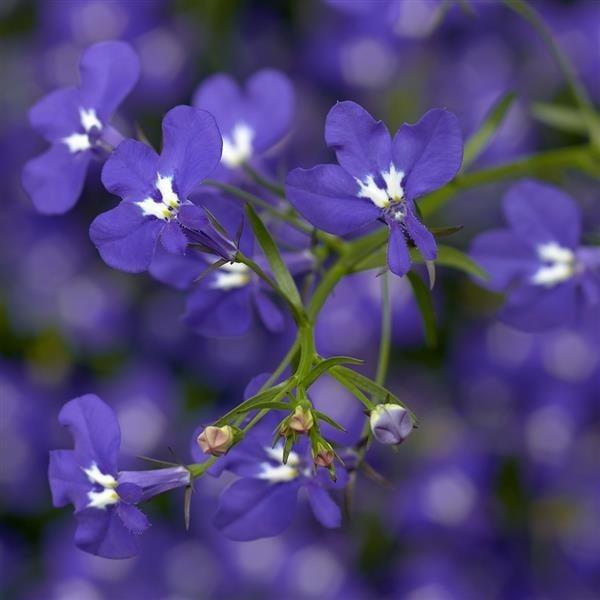 Lobelia Cobalt Blue