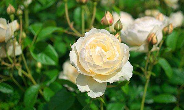 English Roses Garden