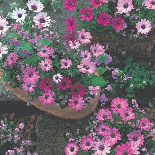 Osteospermum Passion Mix