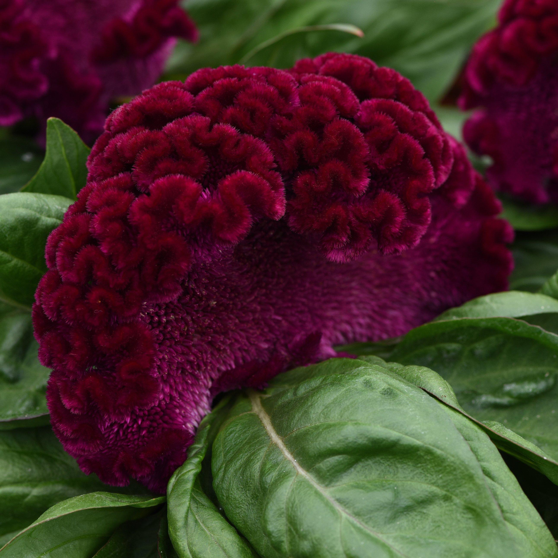 Celosia cristata, Concertina Purple