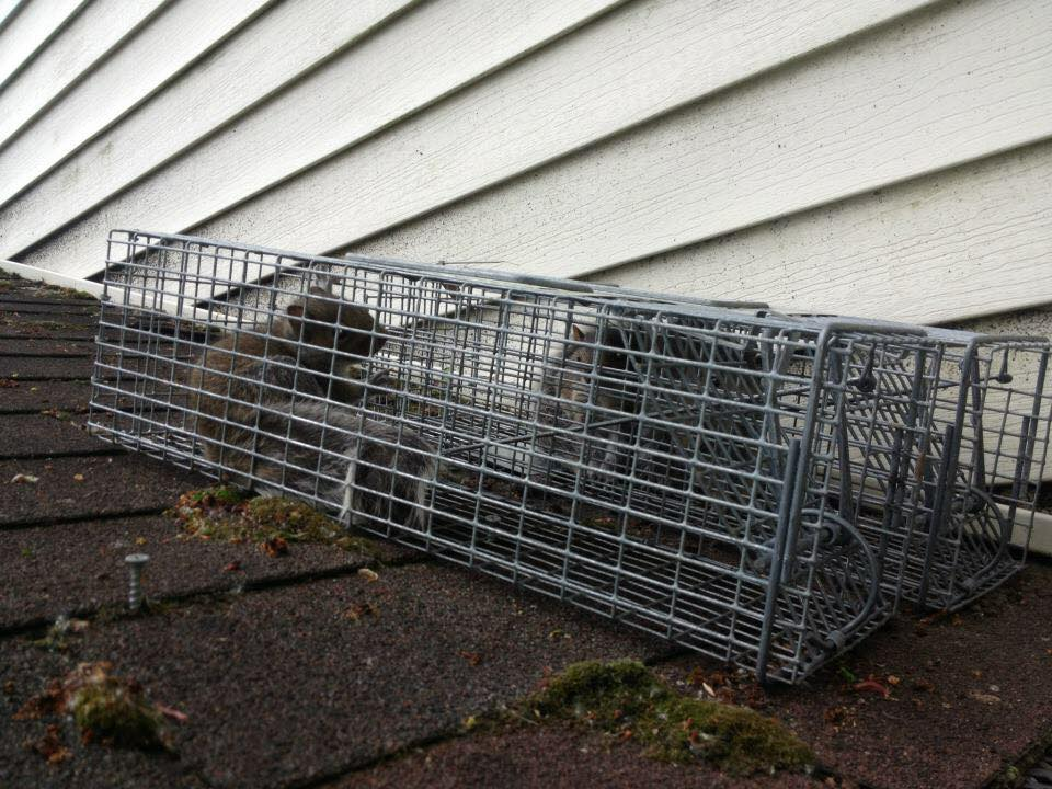 Ohio Squirrel Removal From The Attic Space Of A Home