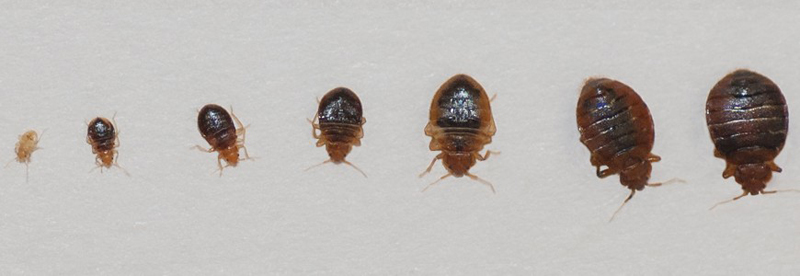 Bedbugs requiring pest control services in Harrogate, TN