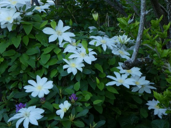 Gorgeous Clematis 'Moonlight' living up to its name in Brenda's Coquitlam garden