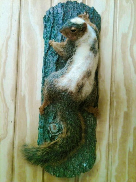 Faux piebald squirrel. A normal fox squirrel was dyed to match a photo of a real wild piebald squirrel.