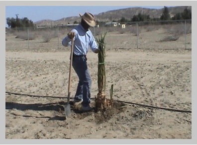 Sam Cobb Planting his very first date palm in 2003