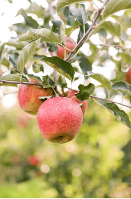 https://0201.nccdn.net/1_2/000/000/169/94d/apple-tree-2-min.png