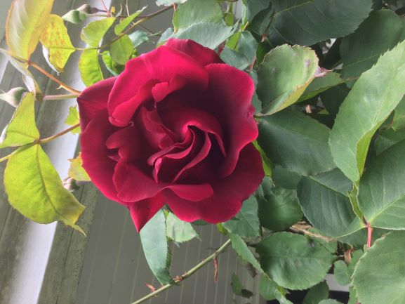 Darlene (North Vancouver) shares her velvety and very fragrant 'Etoile de Holland'