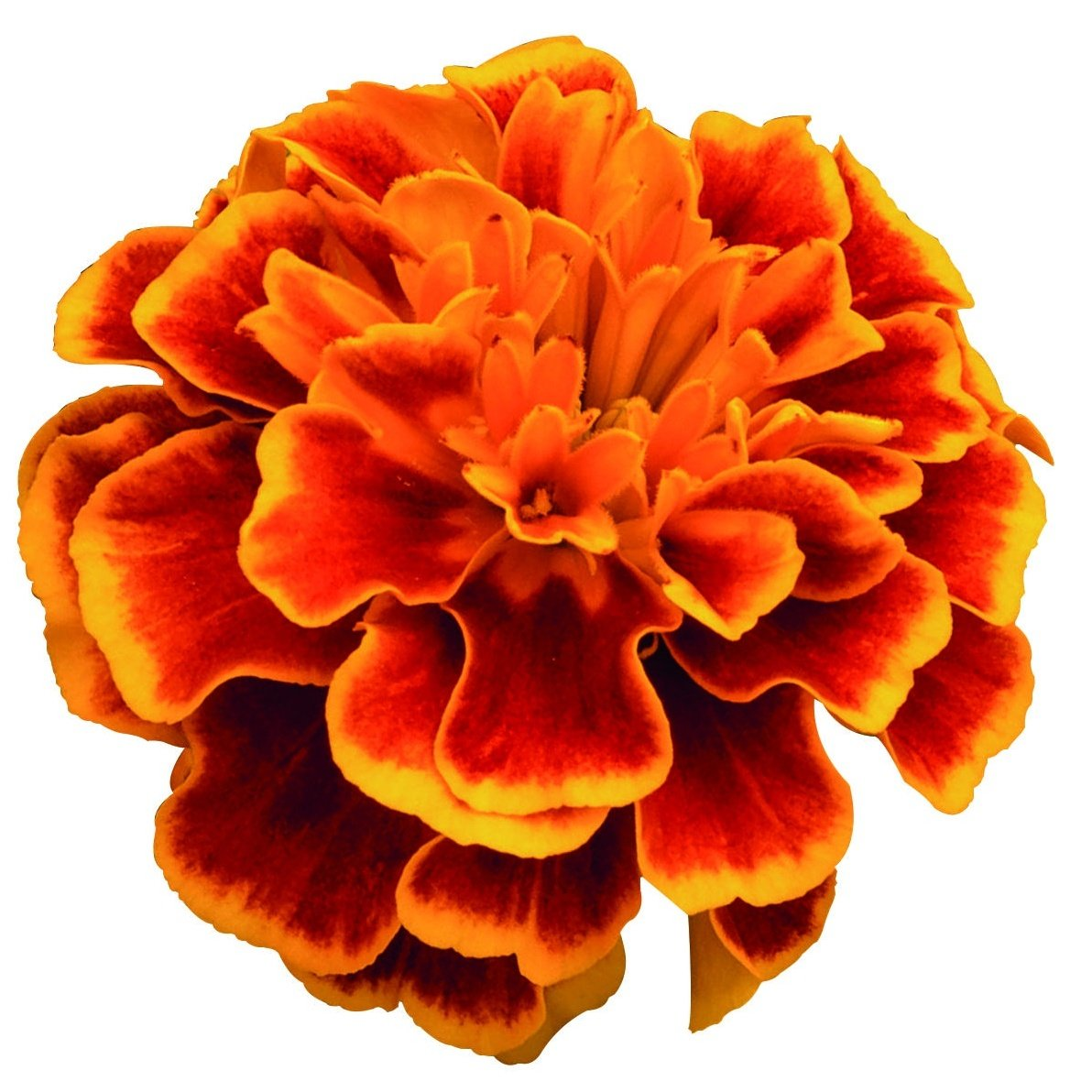Marigold French, Super Hero™ Orange Flame