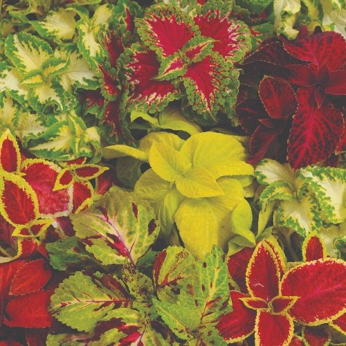 Coleus Wizard Mix