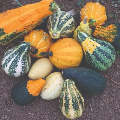 Gourds Harvest Wings F1