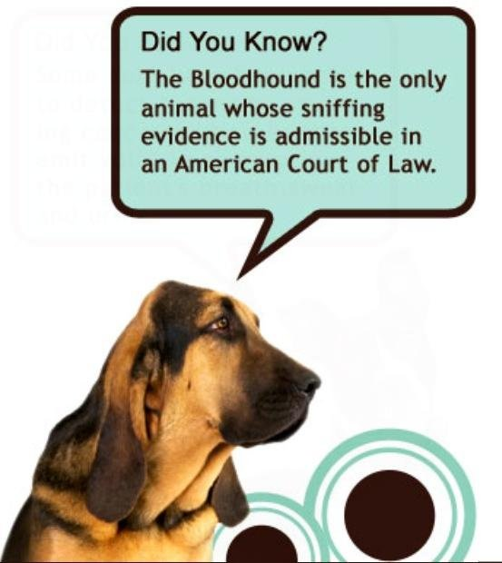 Only a PUREBRED BLOODHOUND  can be used for testimonial evidence!