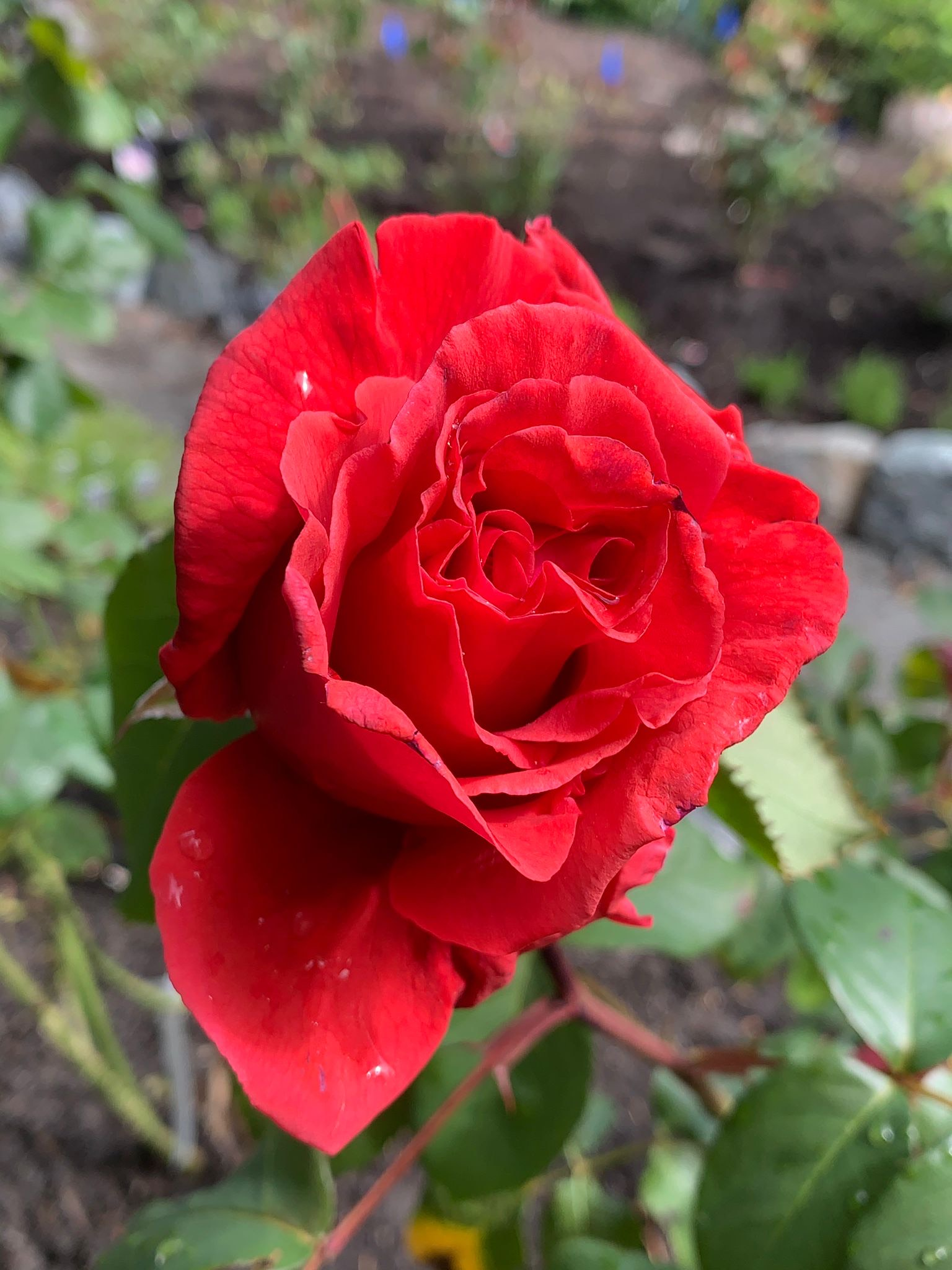 John's 'Fragrant Cloud', 'the most fragrant rose there is', he says.