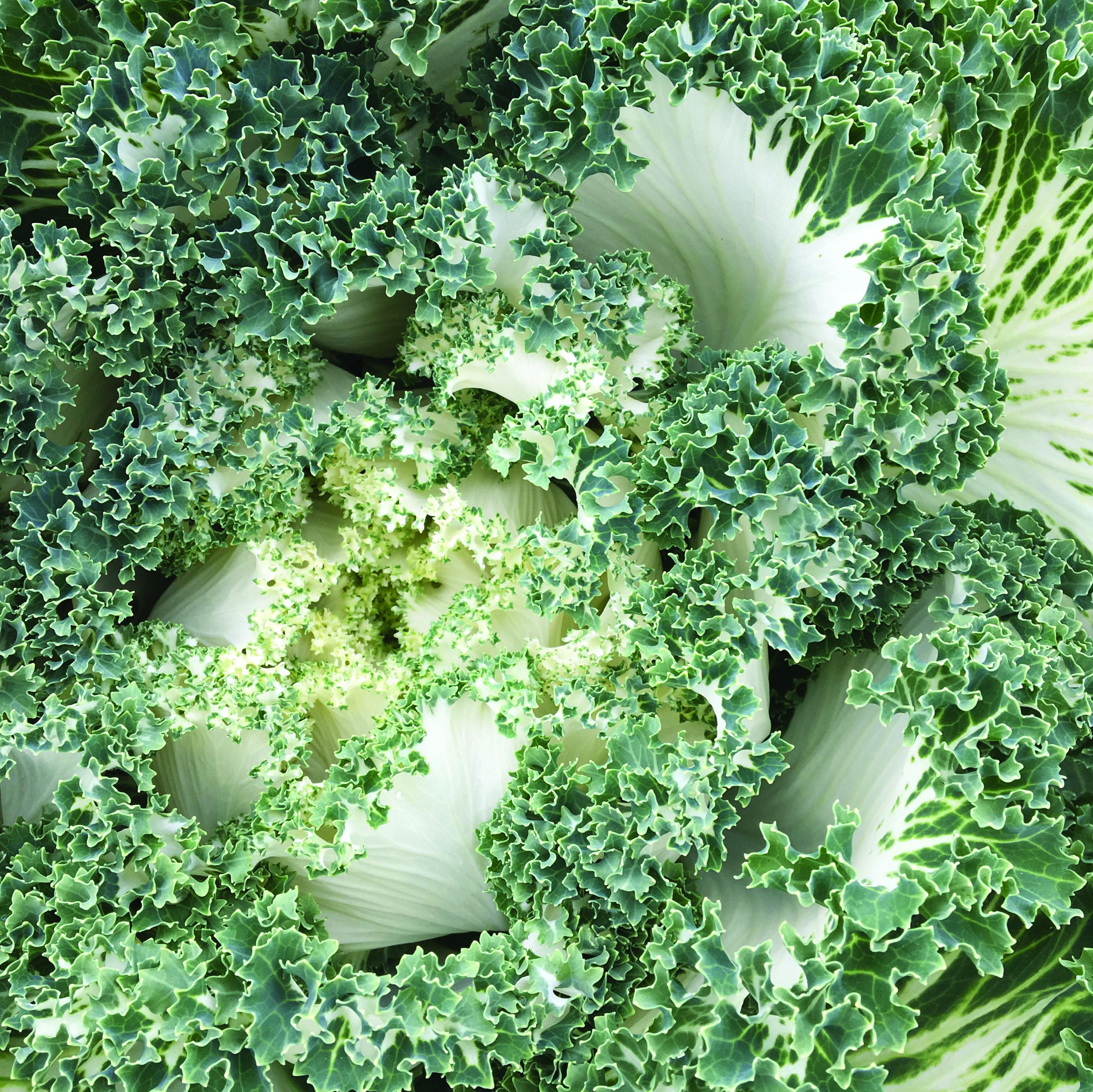 Kale, Garden Ivory