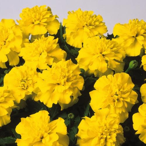 Bonanza Yellow