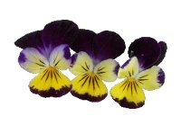 Viola tricolor (Johnny jump up)
