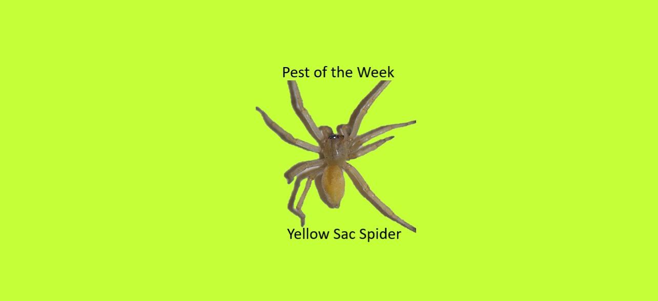 https://0201.nccdn.net/1_2/000/000/175/8f8/Yellow-Sac-Spider--1284x588.jpg