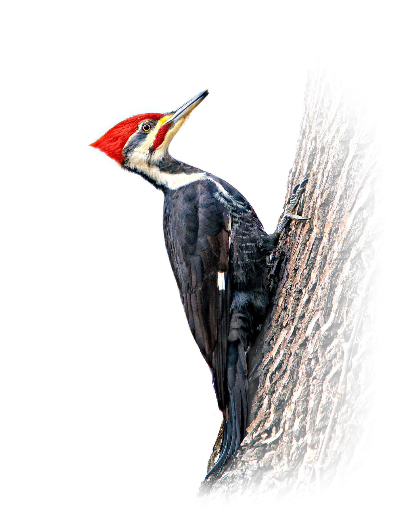 Pileated Woodpecker 1
