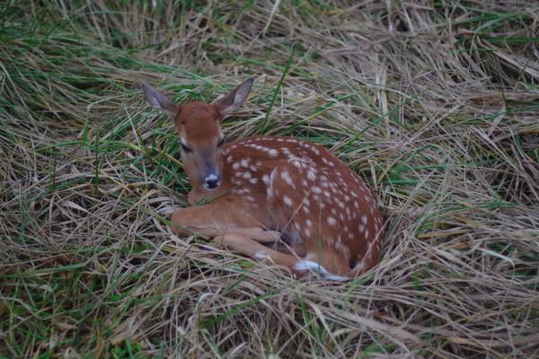 deer-fawn-taxidermy