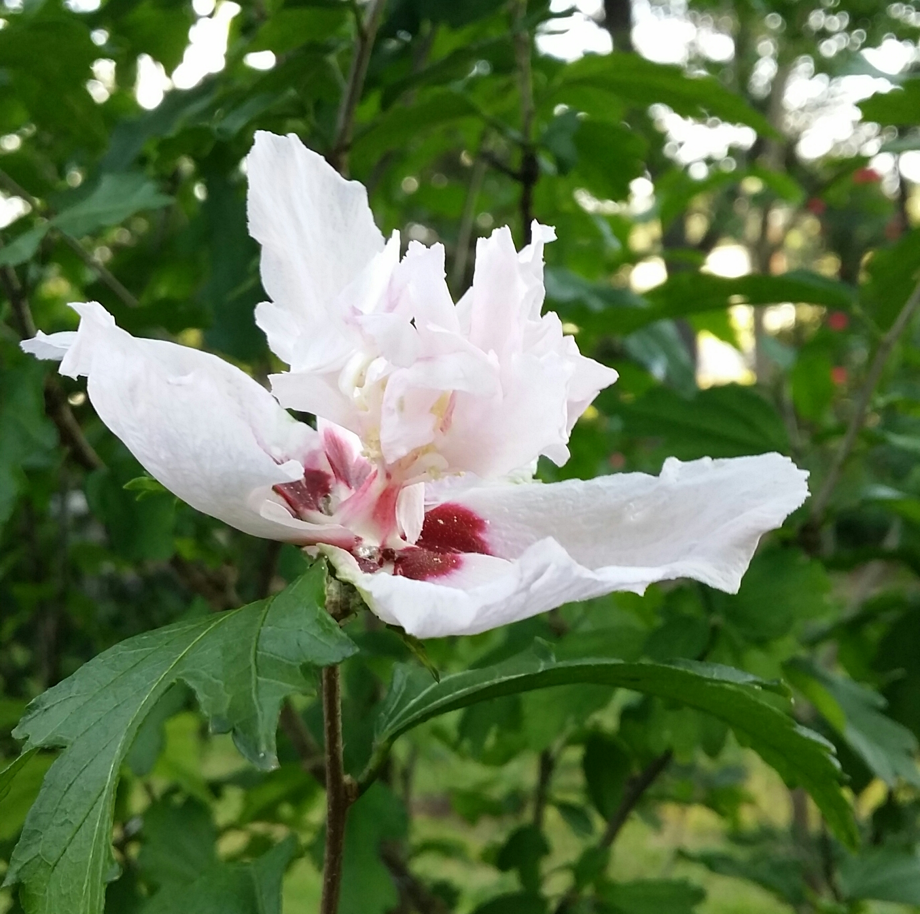 White With Red Center Double Rose of Sharon