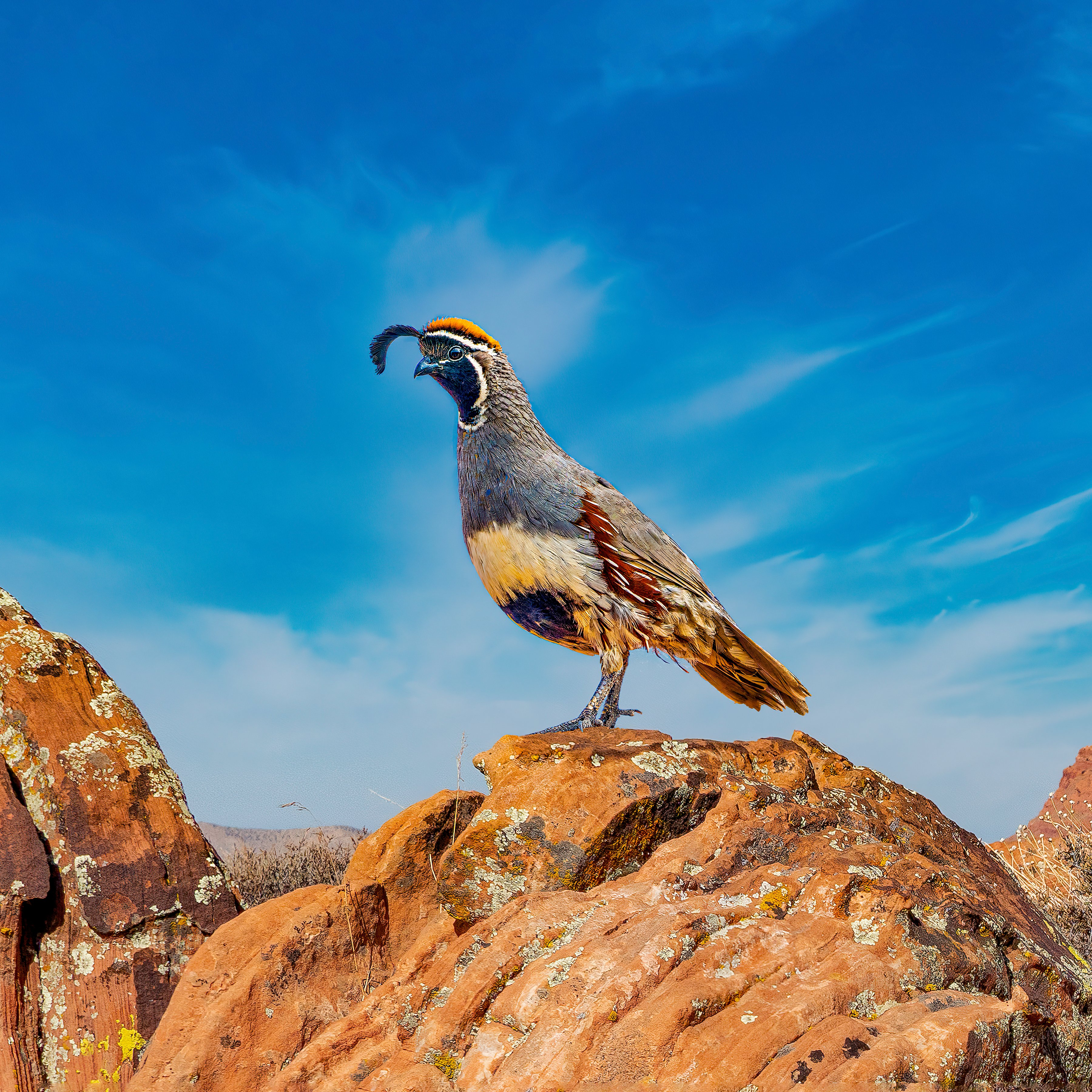 GAMBEL'S QUAIL - This resident of the Sonoran Desert just may be the most skittish bird there is. It scatters at most any movement or sound making it very difficult to get close enough for a good photo. I got a lucky shot while traveling in Arizona.