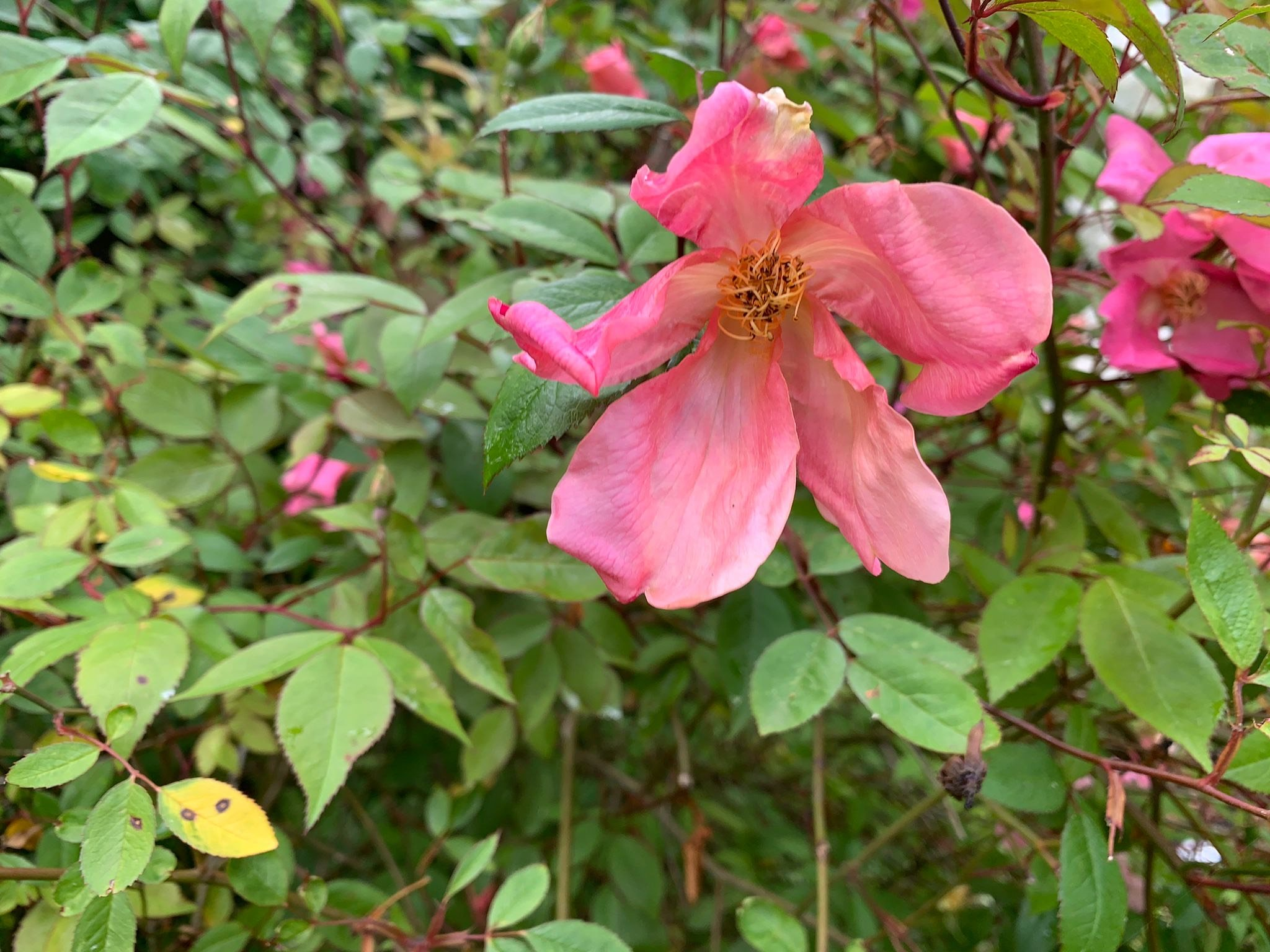 Unknown species rose in John's garden which he says is similar to Glauca but different foliage.