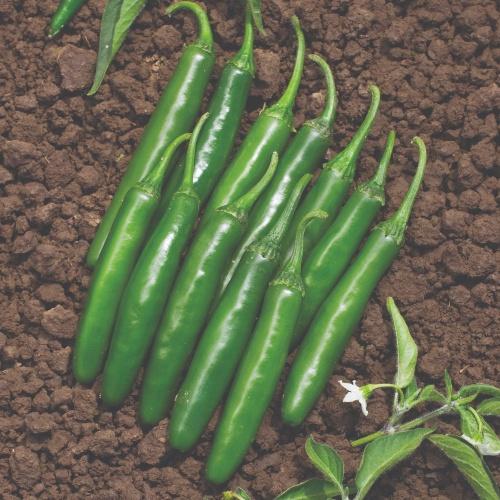 Hot Pepper - Serrano - Cocula F1
