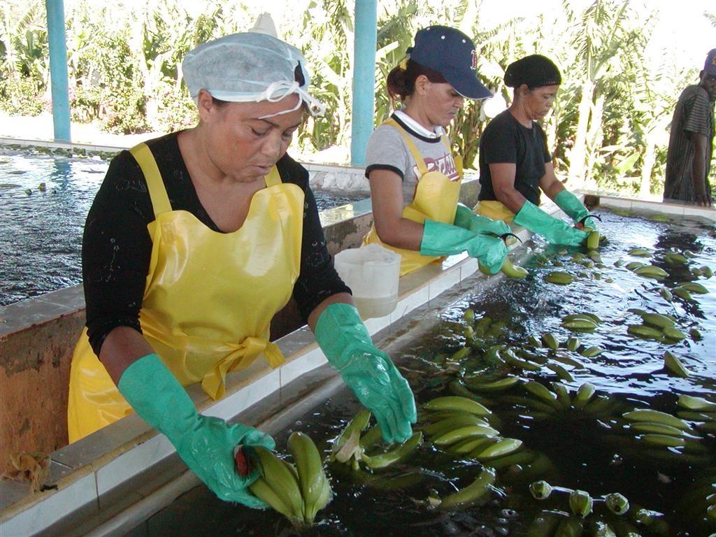 Proceso de la producción de Banano