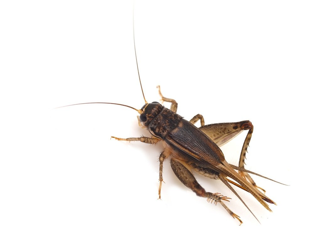 Brown Feeder Cricket