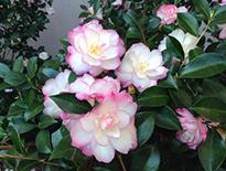 Leslie Ann Camellia