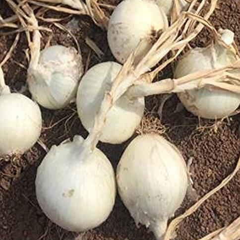 Onion - White Phantom