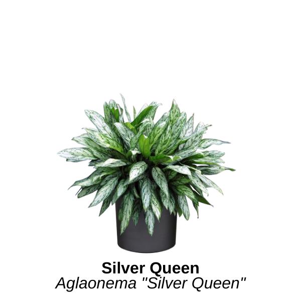 https://0201.nccdn.net/1_2/000/000/183/f08/silver-queen.png
