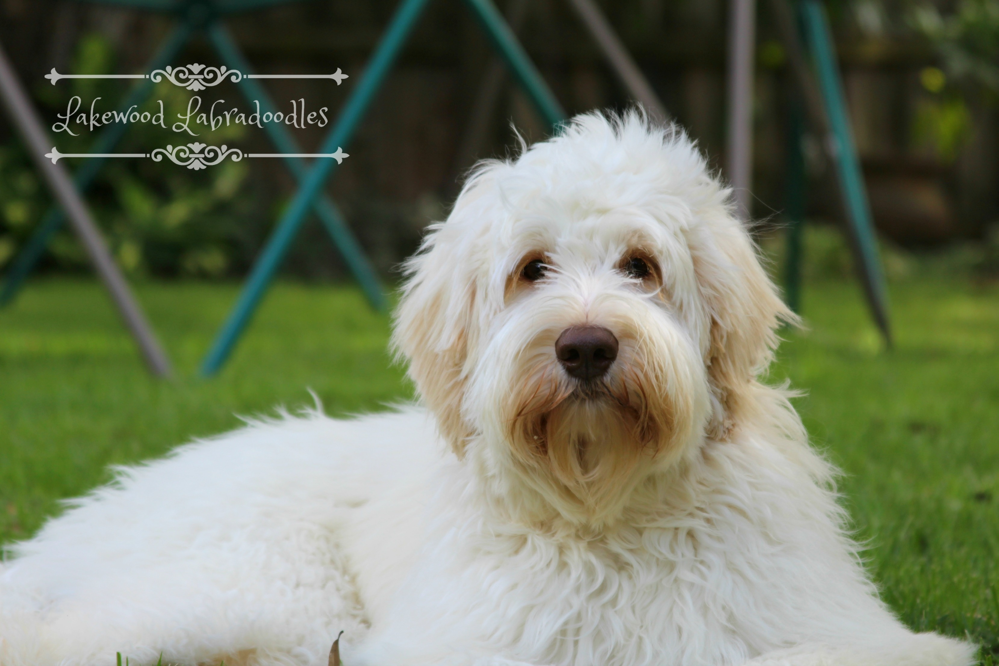 Australian Labradoodle Puppies Winter Haven