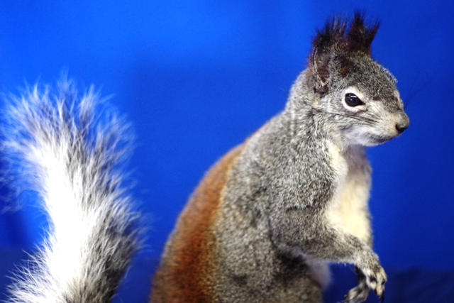 Abert's squirrel, from the American Southwest
