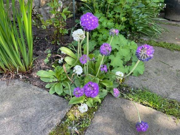 Cheery primulas, also from Paul's garden.