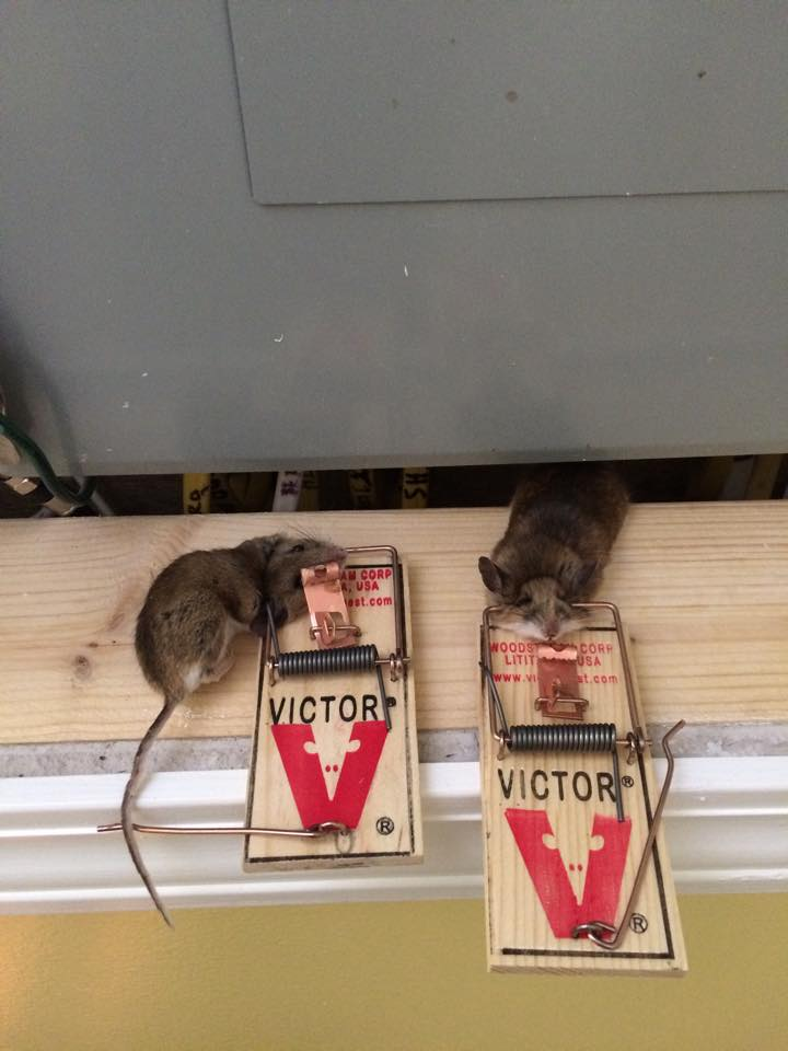 Mouse Removal US