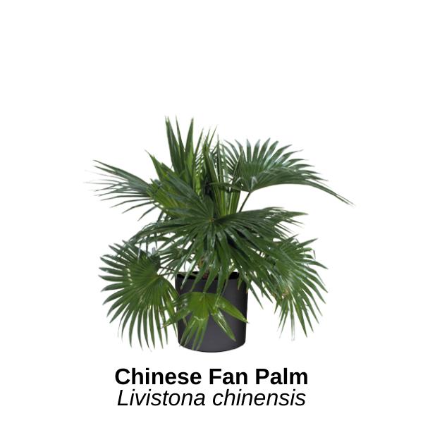 https://0201.nccdn.net/1_2/000/000/18b/74b/chinese-fan-palm.png