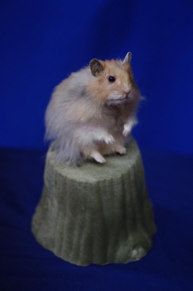 hamster-1