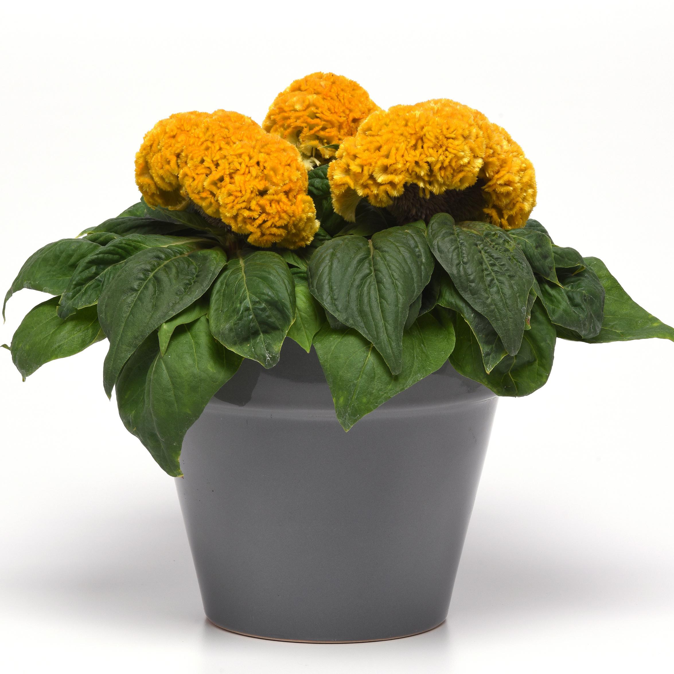 Celosia cristata, Concertina Yellow