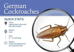 https://0201.nccdn.net/1_2/000/000/18f/ad9/German-Roach.jpg