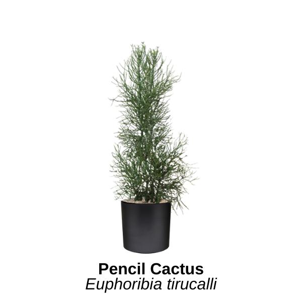 https://0201.nccdn.net/1_2/000/000/191/a21/pencil-cactus.png